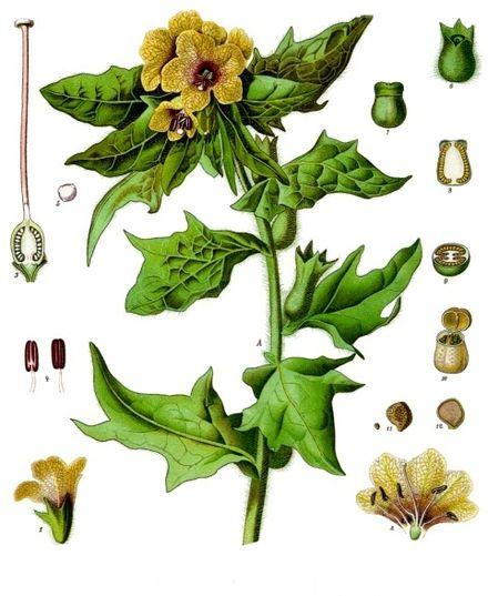 Hyoscyamus_niger_-_Köhler–s_Medizinal-Pflanzen-073