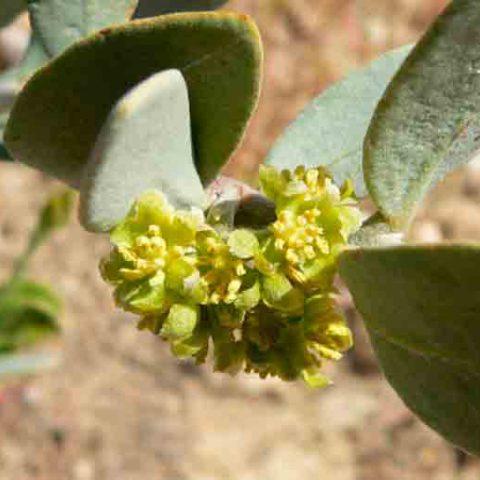 jojoba-in-bloei-afbeelding-wikimedia-commons