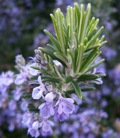 rosmarinus_officinalis-afbeelding-wikimedia-commons