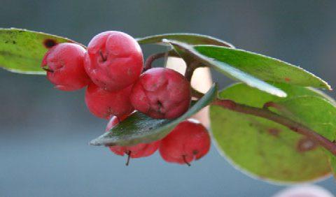 wintergreen-afbeelding-wikimedia