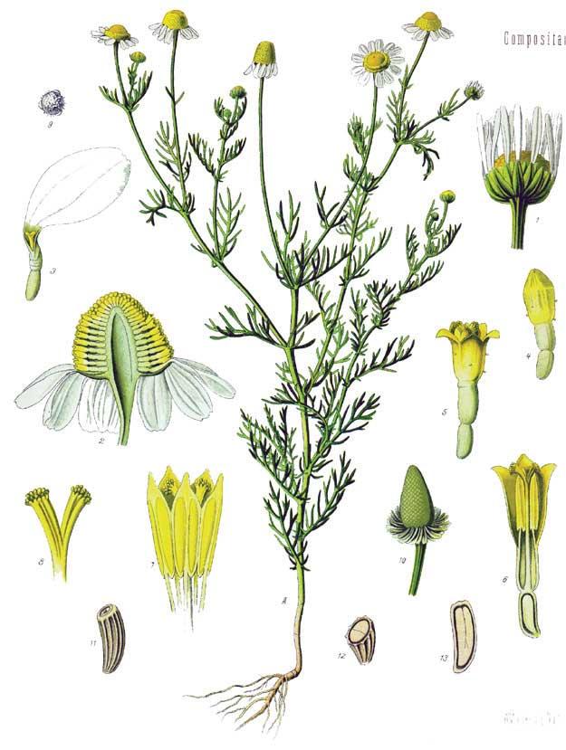 Matricaria chamolilla | Köhlers Medizinalpflanzen 1897