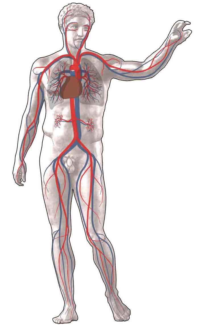 Bloedsomloop : rood: bloedvaten met zuurstofrijk bloed, blauw: bloedvaten met zuurstofarm bloed. Wikimedia licensed under the Creative Commons