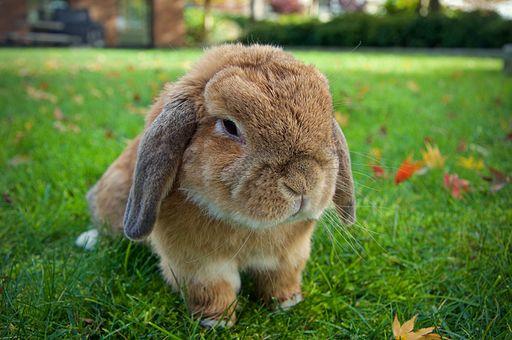 Homeopathie voor Dieren | Flapje het konijn