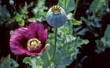 Papaver somniferum ©Mark Nesbitt and Delwen Samuel