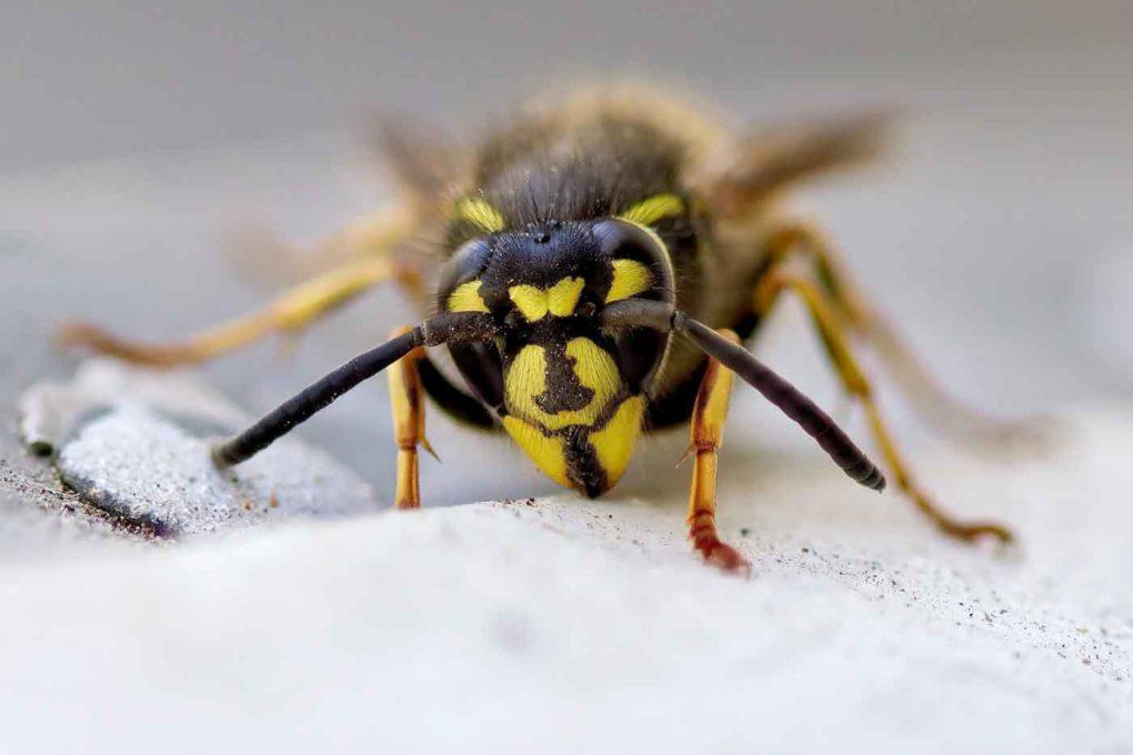 © Svetozar Cenisev | Wespen-, bijen-, en muggensteken
