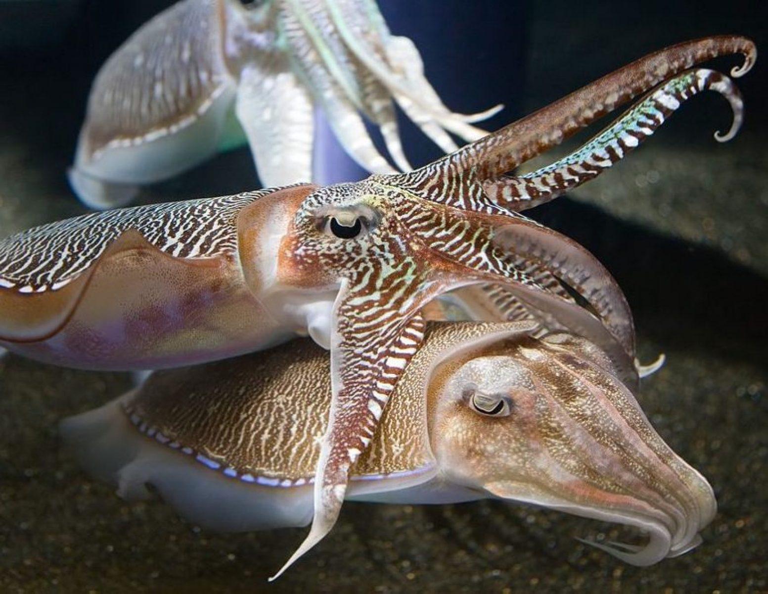 Georgia_Aquarium_-_Sepia_Cuttlefish_Jan_2006-1020x667